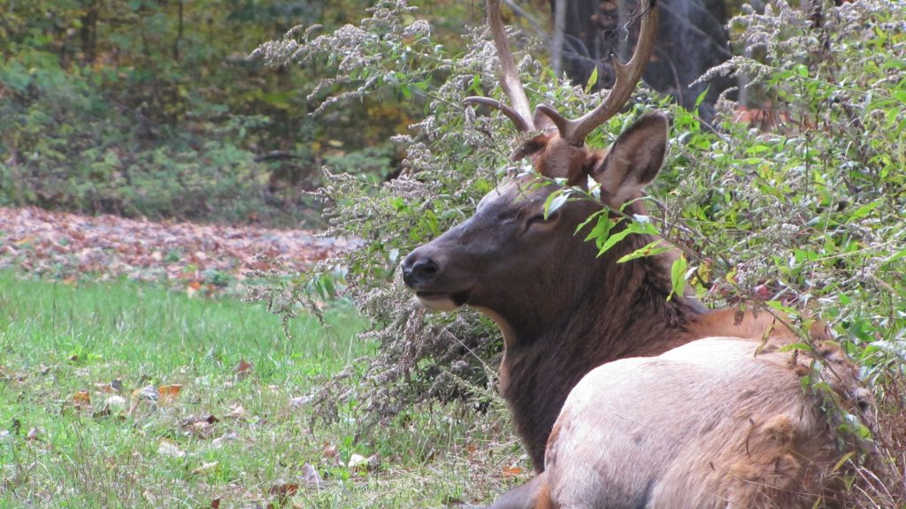 Elk close up