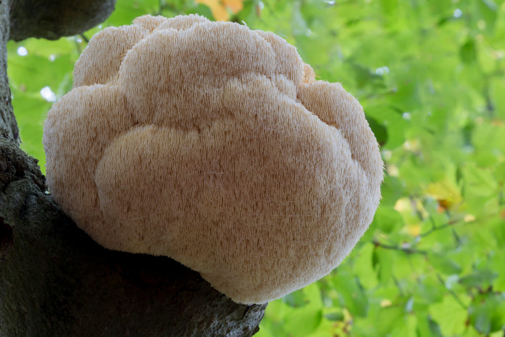 Lion's Mane - Brain Superfood - Health Benefits, Uses and