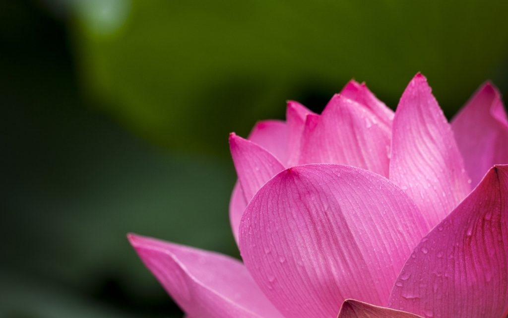 Lotus blooming