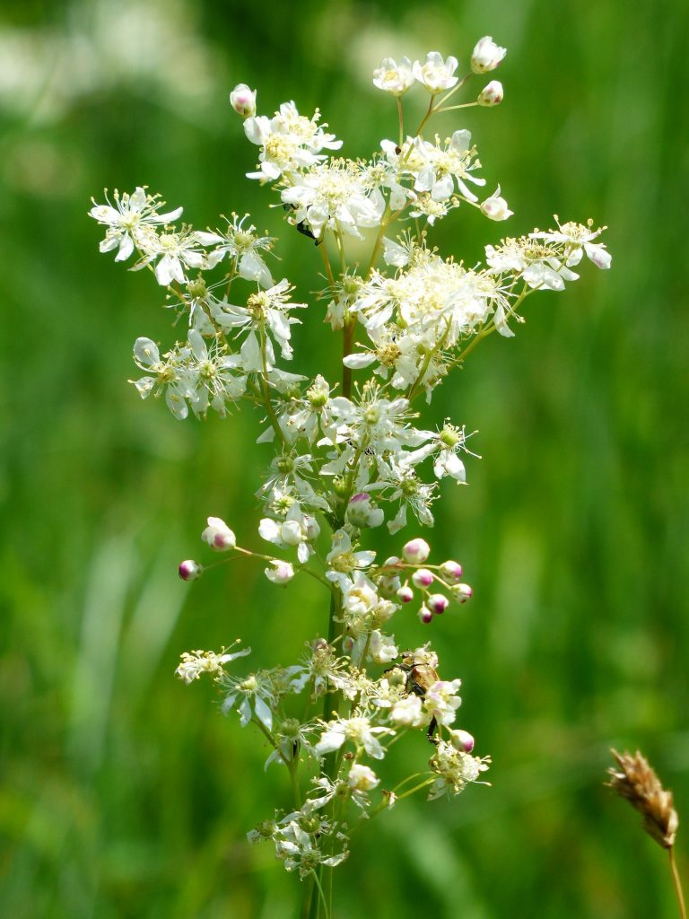 meadowsweet - close up