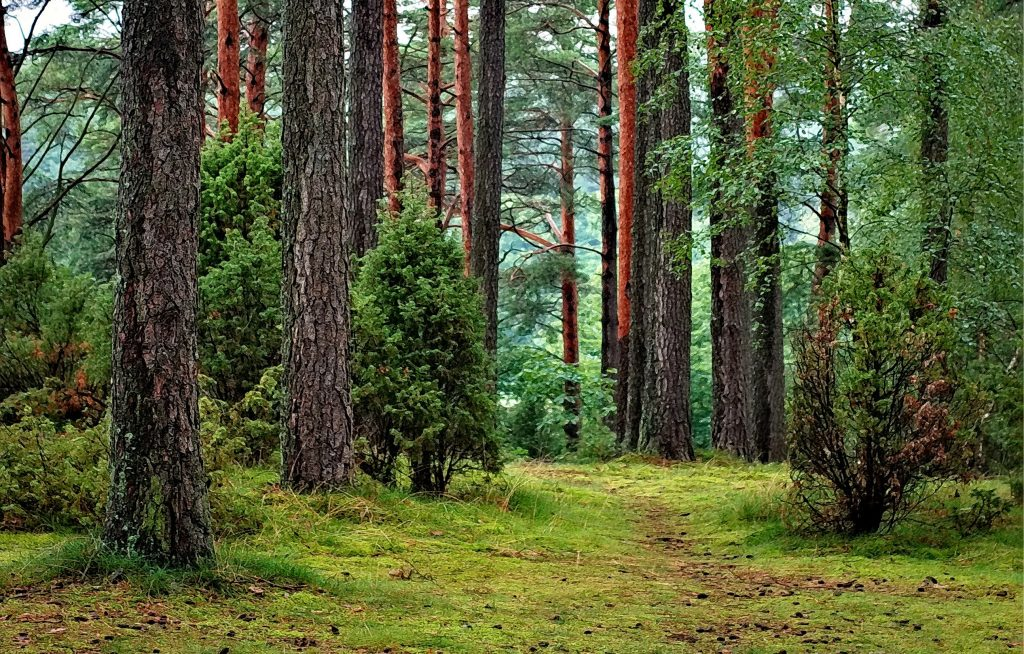 Pine forest lush green