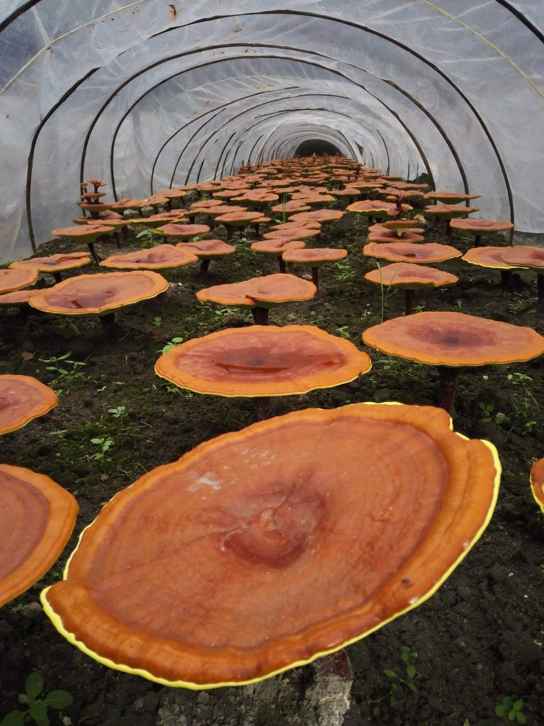 Reishi cultivation